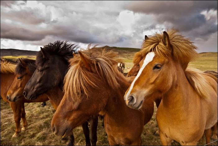7 - Icelandic horses1 - foto Iurie Belegurschi - fotografiromani-ro